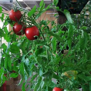 Лампа для растений и рассада, помидоры дома выращивание